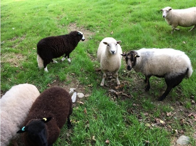 Sheep for sale in Newcastle Emlyn