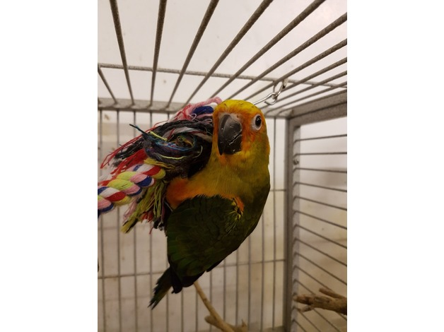 Hand reared baby Sun conures special price! in Newport