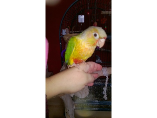 Last Baby hand reared pineapple conure in Newport