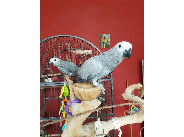 Hand reared baby congo aftican grey parrots in Newport