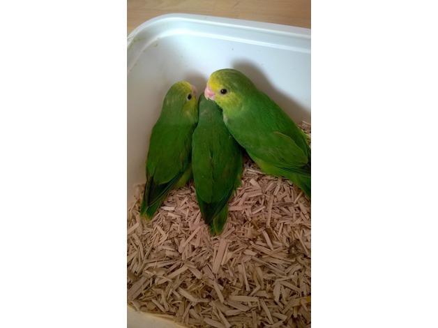 Baby parrotlets in Newport