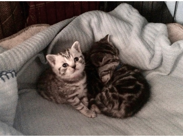 FIVE STUNNING SILVER SPOTTED and SILVER STRIPED BRITISH SHORT HAIR KITTENS in Norwich