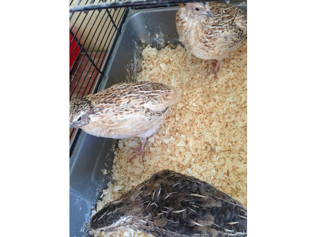 Group of 3 male Quail (2 Italian and 1 Japanese) in Nottingham