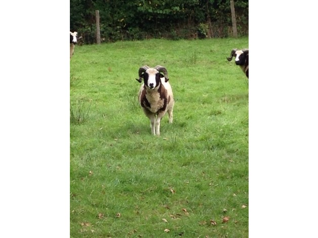 Registered Pedigree Jacob Ram in Okehampton