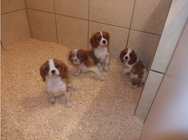 Cavalier King Charles puppies in Oldbury