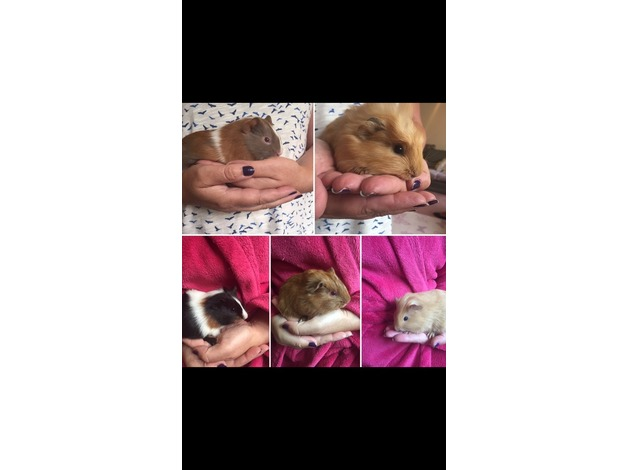 Healthy baby Guinea pigs  in Petersfield