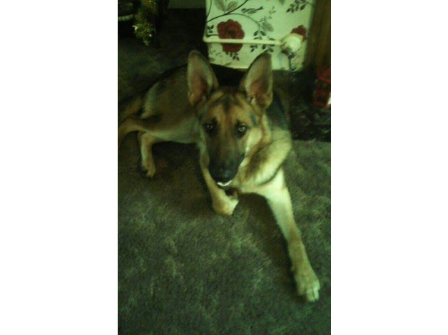 german shepherd male in Port Talbot