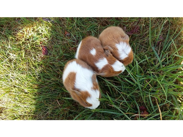 Baby Guinea Pigs ready now, assorted colours, shorthaired in Reading