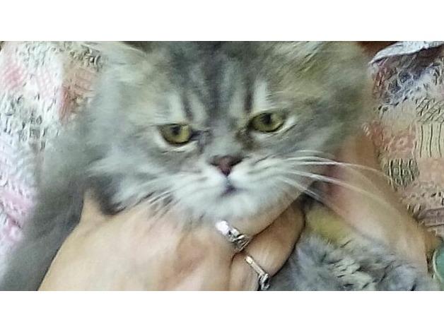 Male Persian kitten in Reading