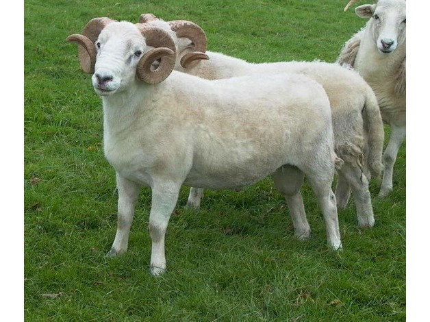 registered wiltshire horned rams for sale in Shepton Mallet