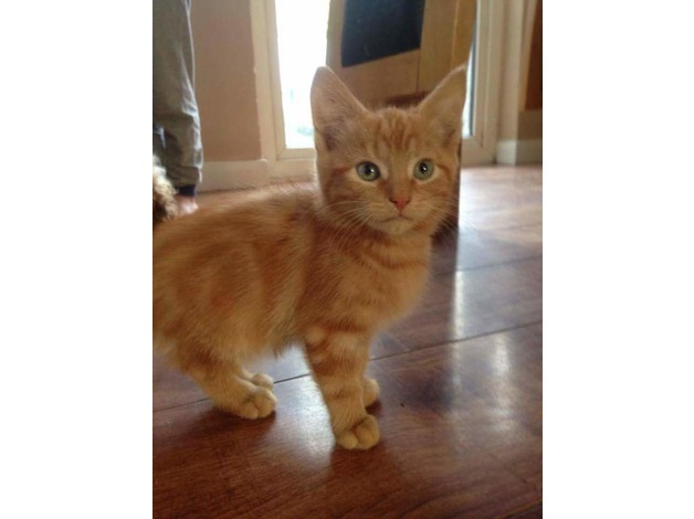 ginger kittens  in Sittingbourne