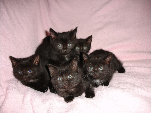 Gorgeous Tiny Black Manx Rumpy Tailess & with Tails Kittens For Sale in Skegness