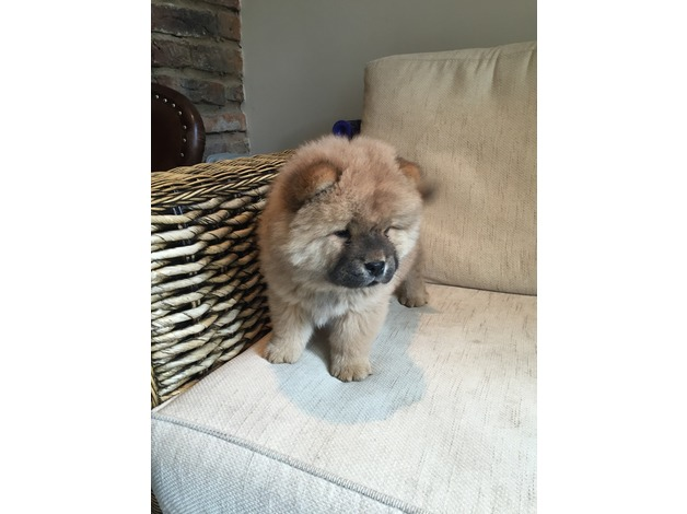 Stunning chow chow girl pup in Skipton	 - 1