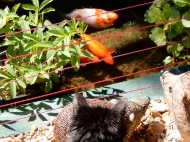 Free Goldfish from our garden pond - all sizes - gold, cream / white & black - looking for go