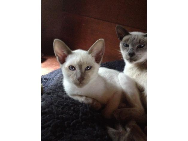 siamese kitten in Southampton