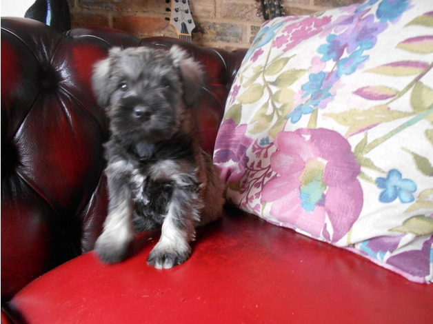 Minature Schnauzer puppies ready now. in Spalding