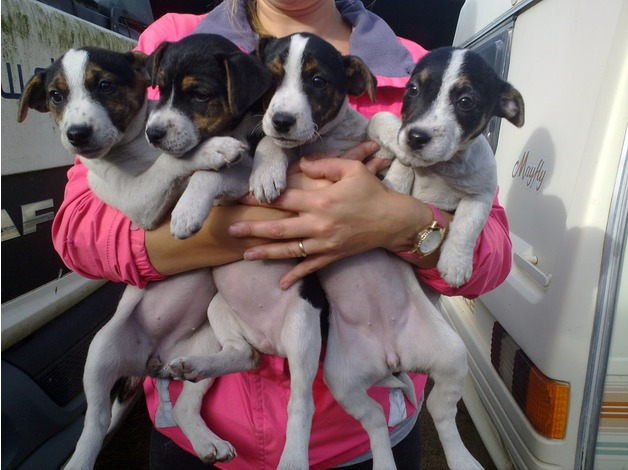 Cute and Friendly Jack Russell Pups in Sudbury
