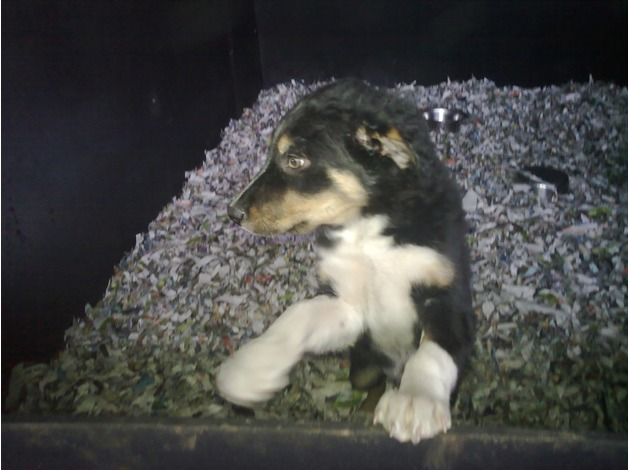 Lovely Tri Colour Border Collie Pups in Sudbury