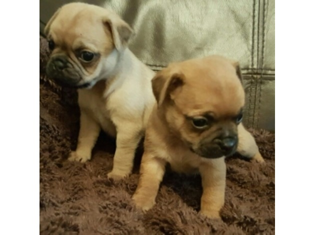 pug puppies!!!! ready now ? in Swansea