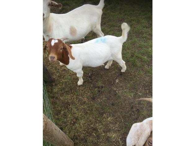 Male boer goats  in Swindon