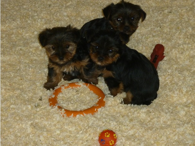 Yorkshire terrier puppies in Swindon