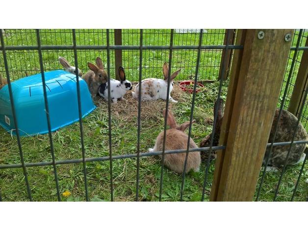 Bunnies for sale in Tadley