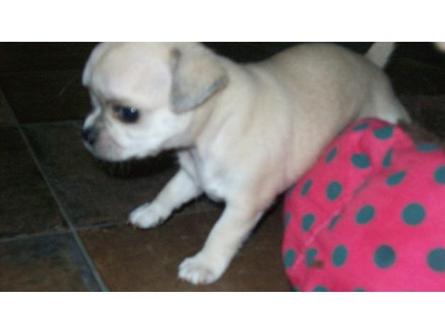 xxX Chihuahua Pedigree Puppies Xxx in Walsall