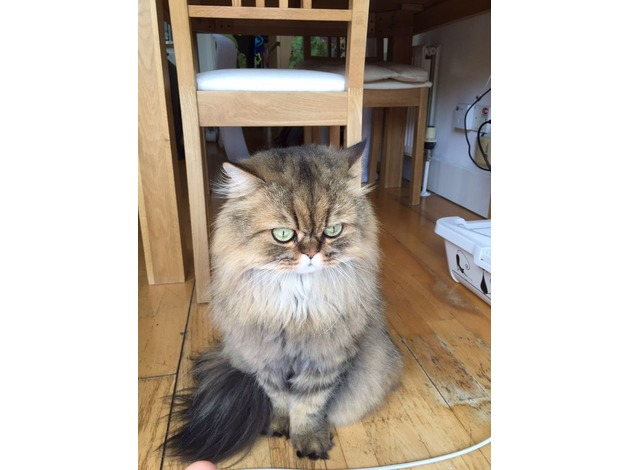 Family cat missing Highams Park in Waltham Forest