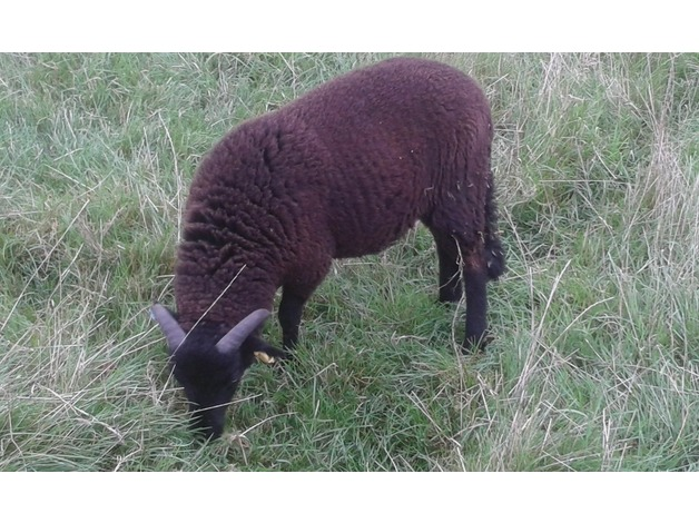 Black Welsh Mountain Ram Lambs for sale in Waterlooville