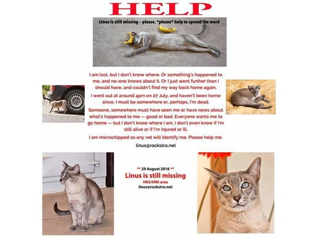 Tonkinese male cat lost  in Wellingborough