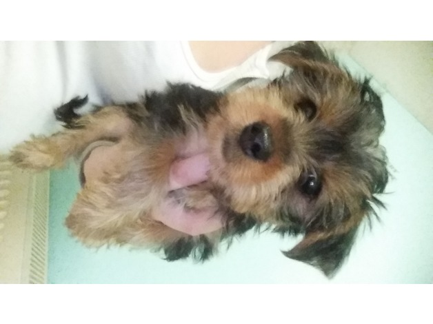 Yorkshire terriers 10 weeks old in West Bromwich