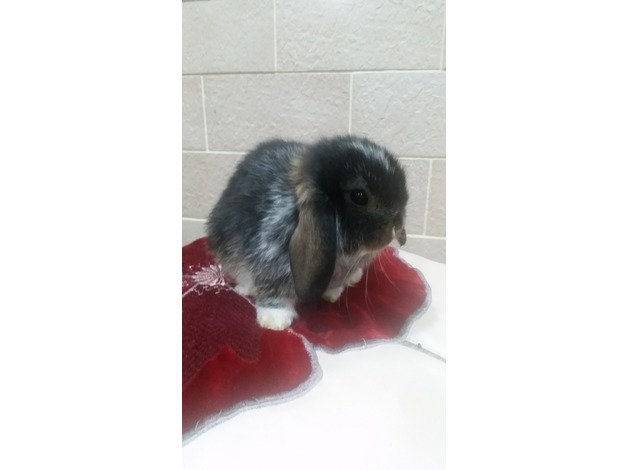 Mini lop boy  in Wishaw