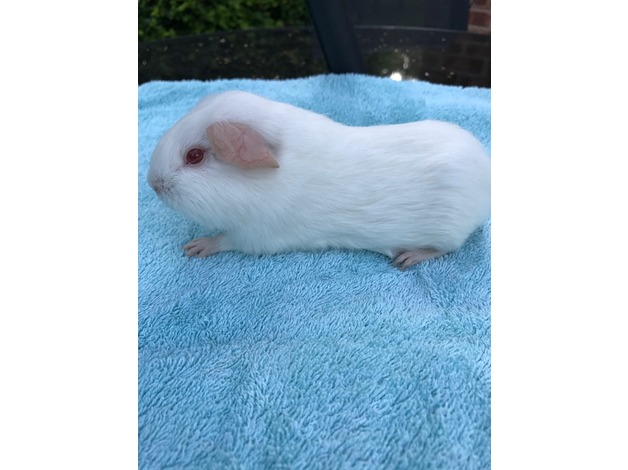 Baby Pink Eyed White and Cream Self Guinea Pigs sows and boars in Witham