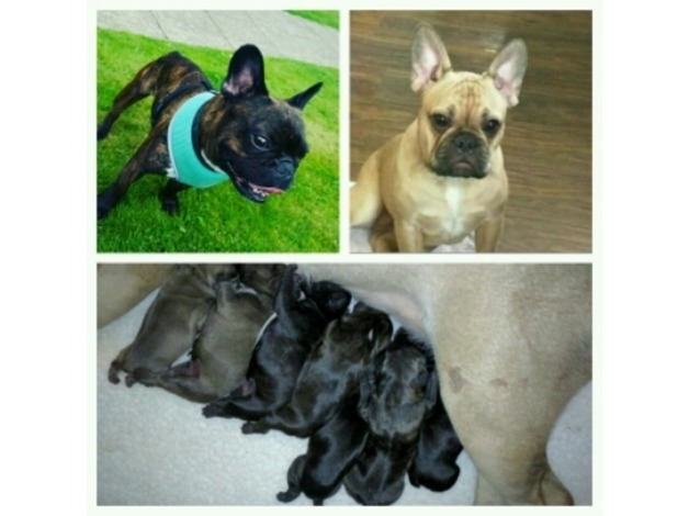 STUNNING FRENCH BULLDOG PUPPIES in Wolverhampton