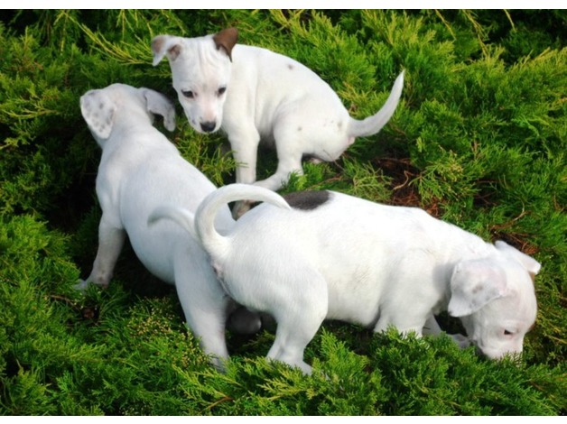 JACK RUSSELL PUPPIES (3 LEFT) in Woodhall Spa