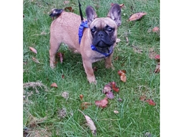 French bulldog puppy for sale  in Worcester