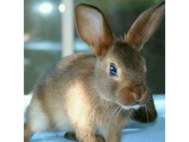 Beautiful Belgian Hare babies  in Yeovil
