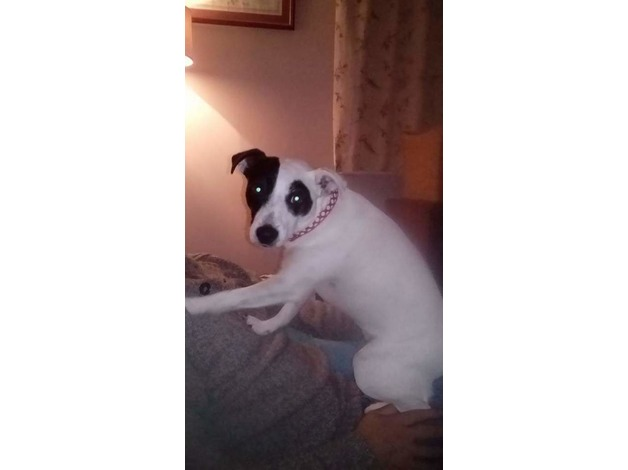 MISSING JACK RUSSELL TERRIER.  in York