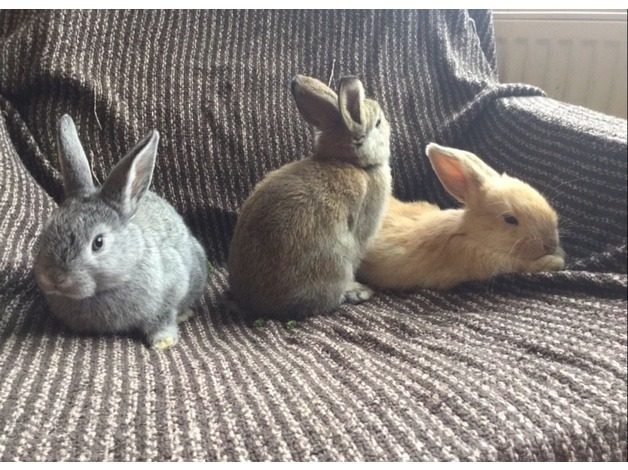 BABY RABBITS FOR SALE READY NOW! in York	 - 1