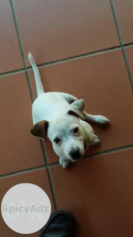 Pure bred Jack Russel 12 weeks old has had all injections and dewormed in Barberton